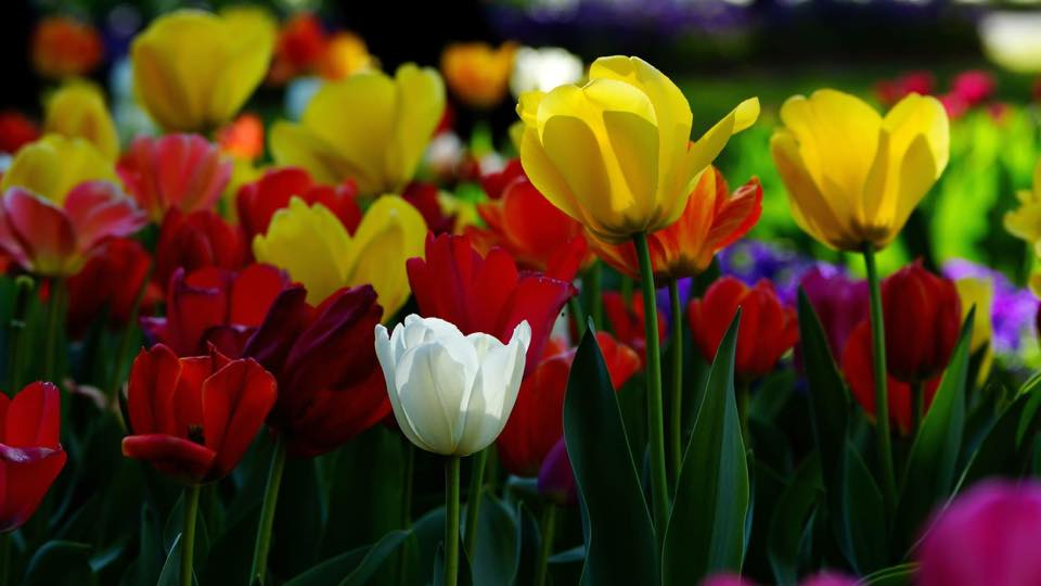 Image for Tulip Top Gardens